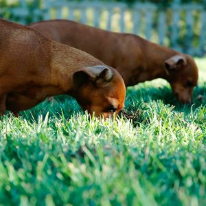". . . two more dachshunds skidded up. Reinforcements. ""Good doggies,"" I said and lobbed a handful of chocolate drops behind them. The latecomers wheeled back and began rooting over the grass. The lead dog wasn't so easily bought..."